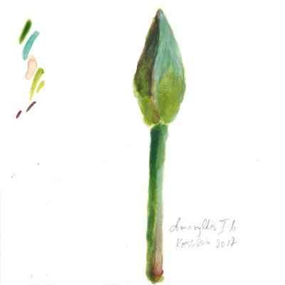 Amaryllis II a 15x15cm aquarell
