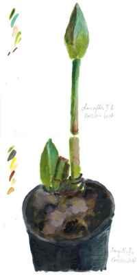 Amaryllis II a b 15x30cm aquarell