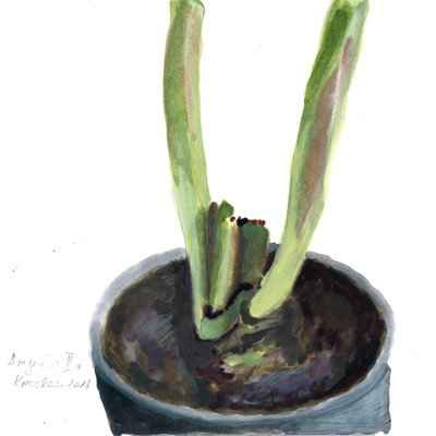 Amaryllis III a 15x15cm aquarell