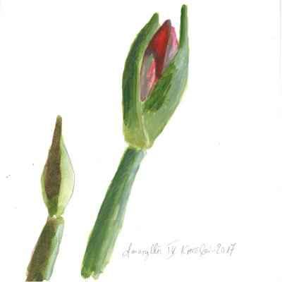 Amaryllis IV 15x15cm aquarell